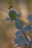 Miko³ajek nadmorski (Eryngium maritimum)