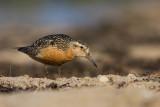 Biegus rdzawy (Calidris canutus)
