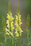 Lnica pospolita (Linaria vulgaris)