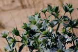 Mikolajek nadmorski (Eryngium maritimum)