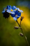 Niezapominajka polna (Myosotis arvensis)