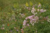 Wild flowers, Mount Vitosha