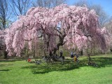 TWC ride to the Bloomin' Cherry Blossom Trees,  April  2009 & April 2003