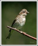 femalepurplefinch.jpg