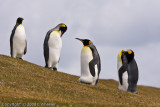My first King Penguin sighting