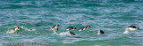 Most penguins can swim about 15 miles per hour.