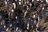 Wet flock of rockhoppers