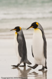 King penguins out for a stroll