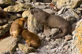 Female Sea Lion and pups