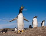 Screaming penguin