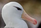 Grown albatross (black browed)