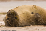 Silly elephant seal