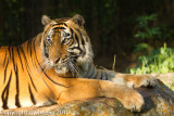 tigers_captive_not_wild