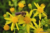 Bee On Golden Ragwort