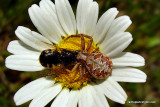 Crab Spider Lunch 3 of 3