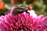 Fly On the Mums