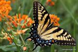 swallowtailIMG_1216-1.jpg