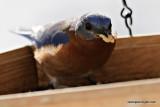 bluebirdIMG_7306.jpg