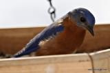 bluebirdIMG_7311.jpg