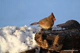 cardinalsunIMG_7203.jpg