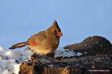 cardinalsunIMG_7205.jpg
