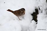 foxsparrowIMG_7026.jpg