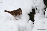 foxsparrowIMG_7027.jpg