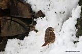 foxsparrowIMG_7043.jpg