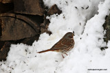 foxsparrowIMG_7044.jpg