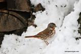 foxsparrowIMG_7046.jpg