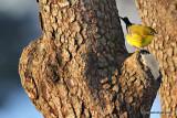 pinewarblerIMG_7243.jpg