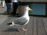 Attack Of The Giant Gull!