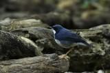 Siberian Blue Robin