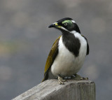 Blue-faced Honeyeater, immature