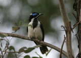 Blue-faced Honeyeater, adult