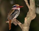 Lilac-cheeked Kingfisher