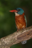 Green-backed Kingfisher