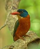 Green-backed Kingfisher (no flash)