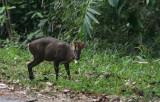 Fea's Barking Deer (Muntjack)