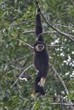 White-handed Gibbon, dark morph