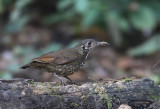 Dark-sided Thrush