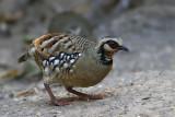Bar-backed Partridge