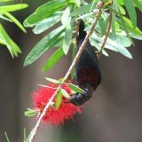 Black-throated Sunbird, male