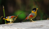 Birds of Fraser's and Taman Negara