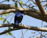 Leaf-birds and Fairy Bluebird