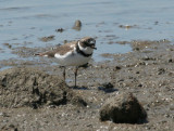 Semi-palmated Plover