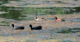 American Coot and Cinnamon Teal
