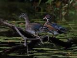Two Juvenile Wood Ducks