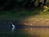 Egret in the Bridges Shadow.jpg
