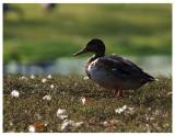 Mallard Hen by the Pond.jpg